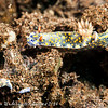 Hypselodoris infucata