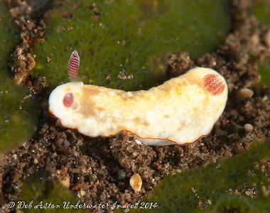 Goniobranchus verrieri