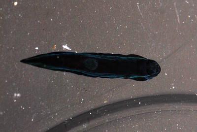 Gymnodoris nigricolor