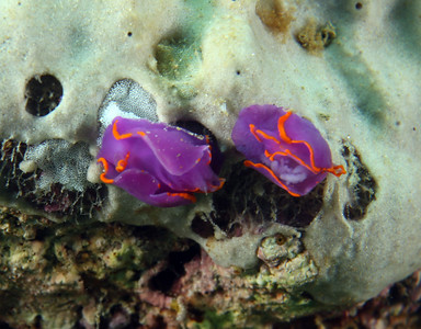 Sagaminopteron ornatum