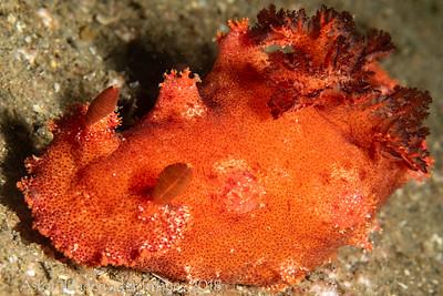 Plocamopherus imperalis