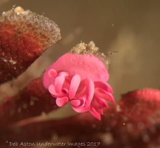 Okenia atkinsonorium Bare Island