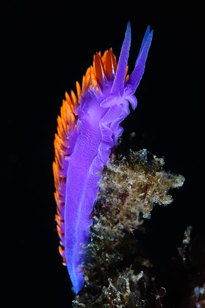 Beauty in the common: The Spanish Shawl is many California diver's first encounter with a nudibranch.  Its stunning purple, orange, red and gold colors stick out on any reef. I might have 1,000 shots of these (maybe only a slight exaggeration) but I still stop to shoot one if it is in a good pose.