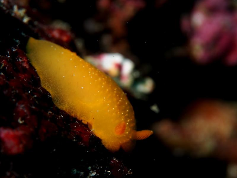 Baptodoris mimetica