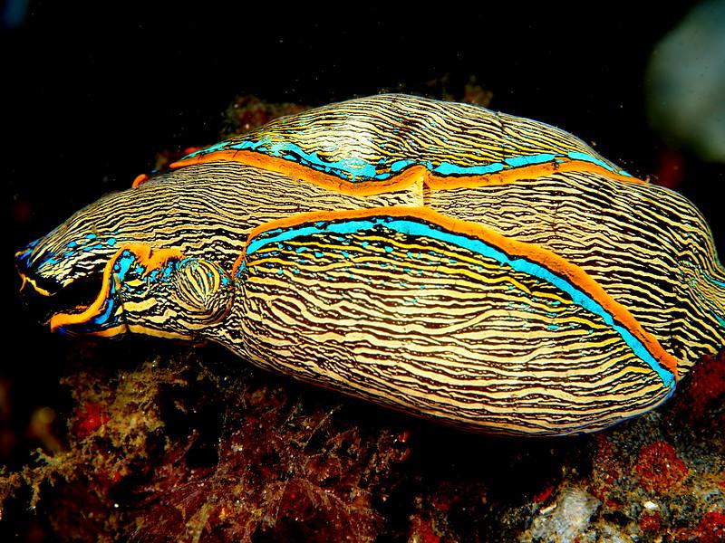 Navanax Nudibranch