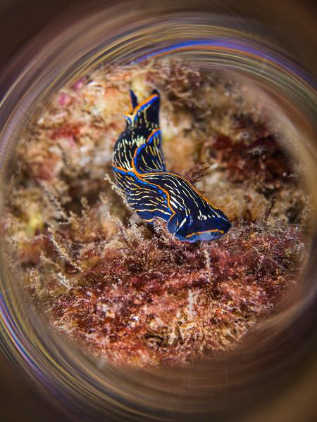 Navanax inermis nudibranch