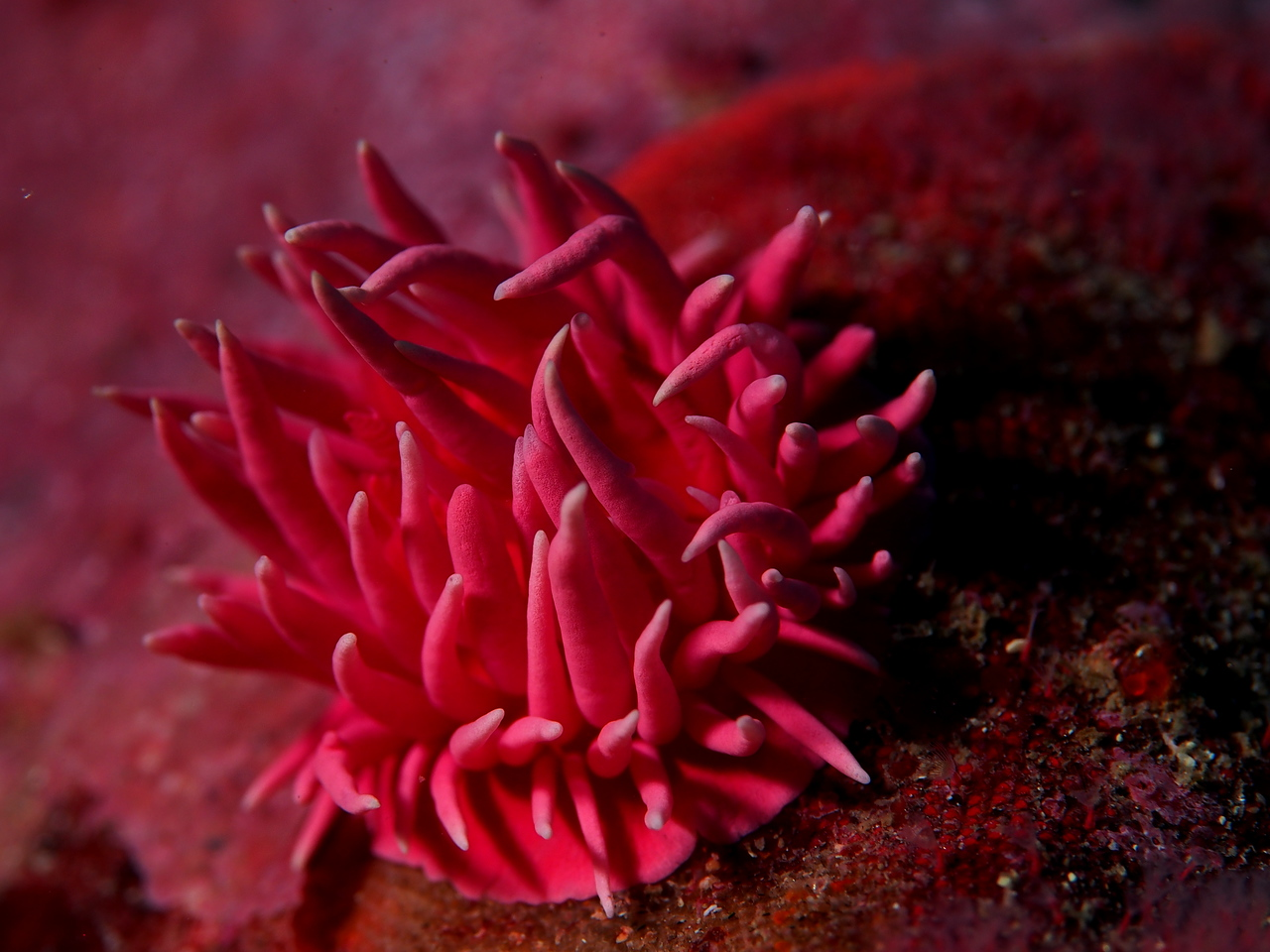 Hopkin's Rose Nudibranch