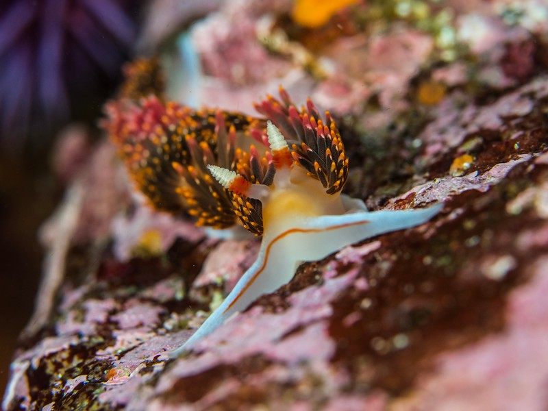 Hilton's Nudibranch