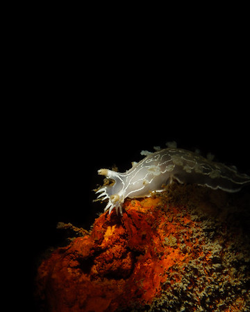 A beautiful tritonia steps into the light on the Ruby E shipwreck in San DIego.