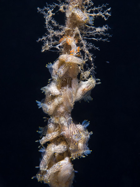 Black dorids, Pacific corambes, and a three lined aeolid cluster on a stalk of giant kelp at La Jolla Shores.