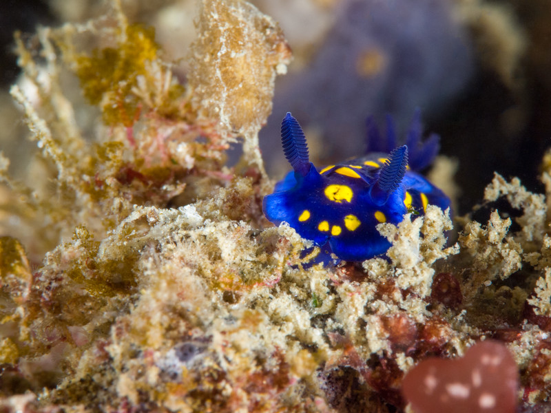 California blue dorid at La Jolla Cove.
