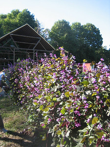 Beautiful flowers cover a fence.  Note the historic barn structure (and its very new roof) in background.  The barn timbers were carefully saved and moved from the former Davignon farm in Holyoke.   See photos of the red barn.
