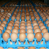 Eggs at Kinross Farm
