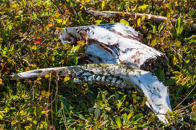 What the Tundra Wolf Left Behind