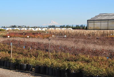 Mt  Hood Over the Nursery