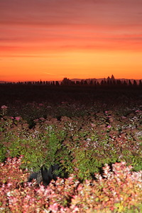 Sunrise Shrubs