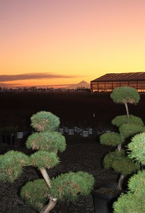 Pinus Poodles in the Sunrise (2)