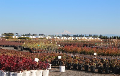 Mt  Hood Over the Nursery (2)