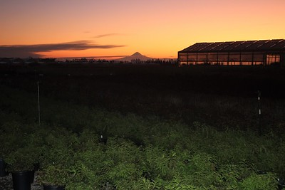 Mt  Hood Sunrise Over the Nursery