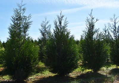 Arborvitae GreenSplendor NFoct17 (1)