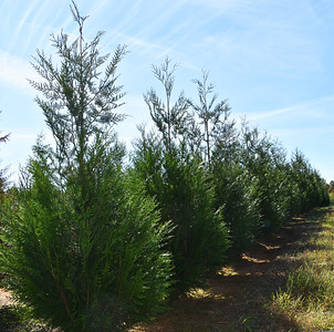 Arborvitae GreenSplendor NFoct17 (2)