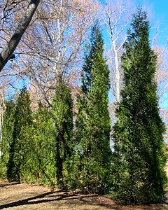 Arborvitae Wintergreen mature