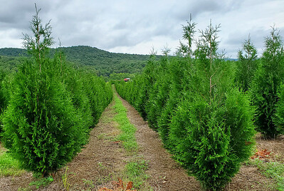 Arborvitae Steeplechase (1)