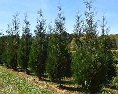 Arborvitae Wintergreen (12)