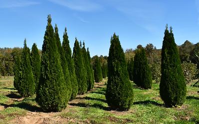 Arborvitae Emerald MFOct17 (1)