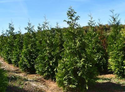 Arborvitae Virginian NFoct17 (2)