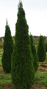 Arborvitae Emerald 10272020 (4)