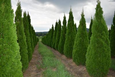Arborvitae EmeraldNF (4)