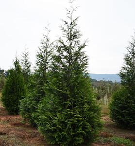 Arborvitae GreenGiantMF Big (1)