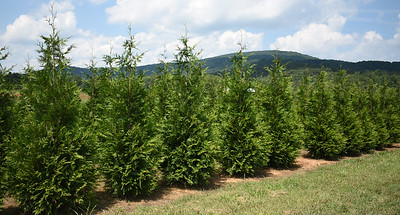 Arborvitae GreenGiant NF (5)