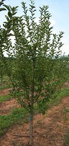 Apple Fuji (3)
