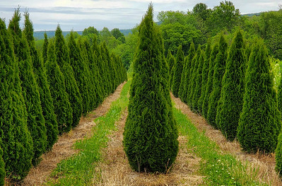 Arborvitae Emerald (20)