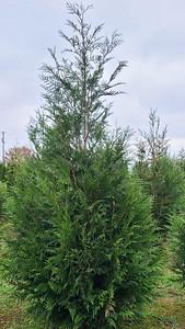 Arborvitae GreenSplendor12 2020 (2)