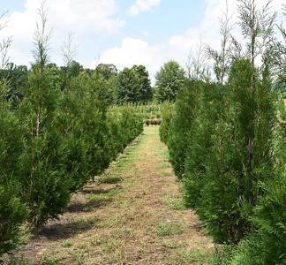 Arborvitae Wintergreen (9)