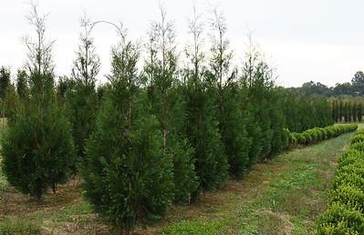 Arborvitae Wintergreen (10)