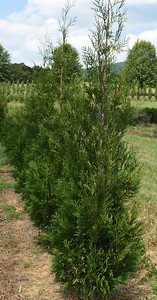 Arborvitae Wintergreen (6)