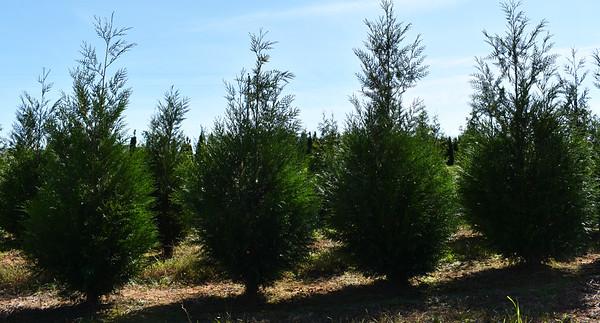 Arborvitae GreenSplendor NFoct17 (4)