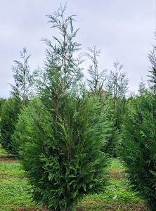 Arborvitae GreenSplendor12 2020 (1)