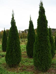 Arborvitae Emerald 10272020 (5)