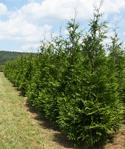 Arborvitae GreenGiant NF (2)