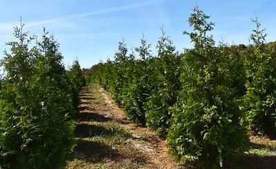 Arborvitae Virginian NFoct17 (3)