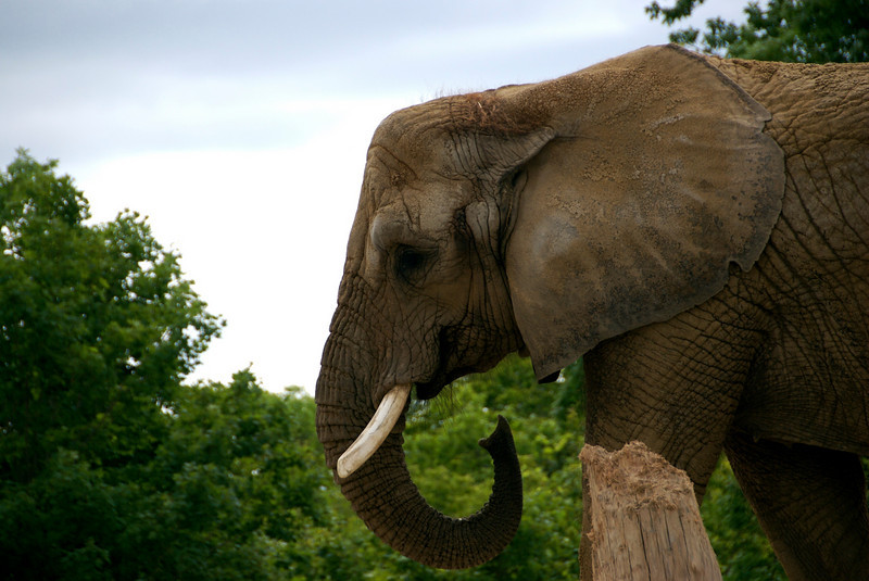 African elephant. July 2009.