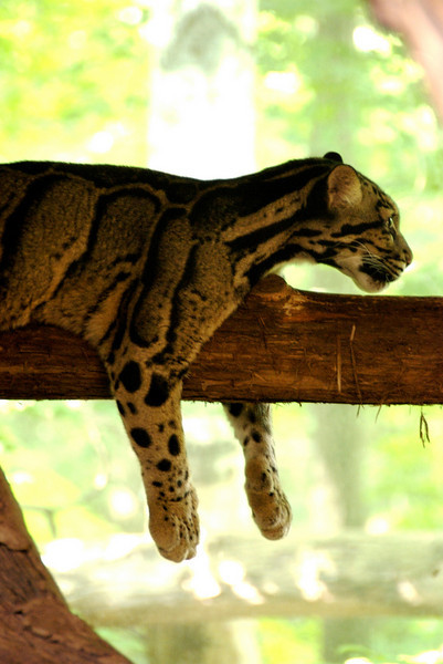 Clouded leopard. July 2009.