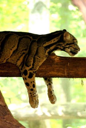 Clouded leopard. July 2009.