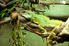 Iguana. Reptilia. November 2010.