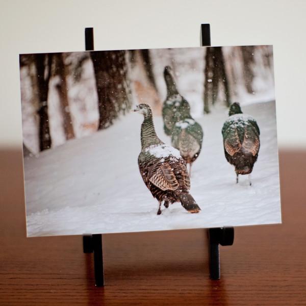 Hen Turkey in Snow
